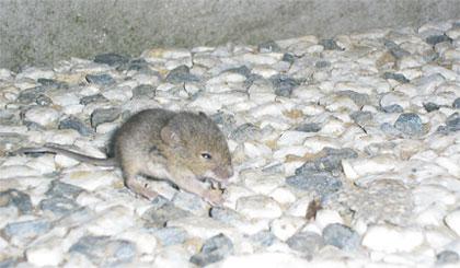 Mišja rupa via Nebeska Srbija