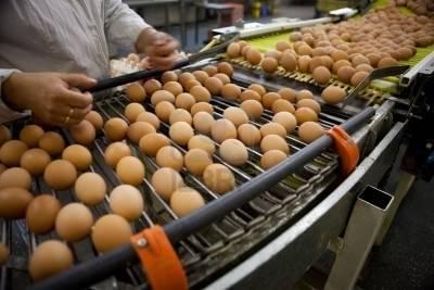 proizvodnja-jaja-za-potrosnju